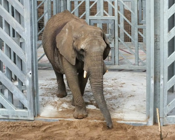 An elephant at Noah's Ark Zoo Farm, near Bristol, where staff are managing the enclosure by smartphone