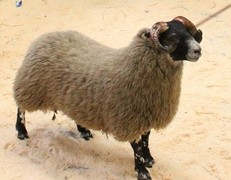One of the Blackface sheep being sold for £90,000 by auctioneer Derek Anderson