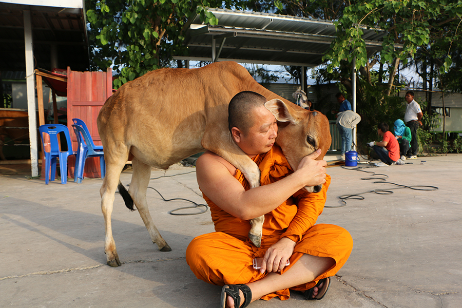 Pracha Thammanart with the baby calf he rescued