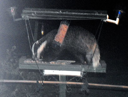 The crafty badger clambers onto the 4ft high bird table for a midnight feast