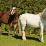 Two ponies with working eye between them have become inseparable - with one acting as a guide for the other. (SNWS Group)