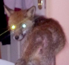 The fox on the end of Leon's bed