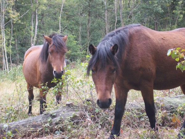 Dartmoor ponies like these are being given the pill to curb their breeding