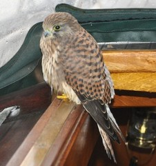 The exhausted kestrel relaxes inside the yacht as he gets a ride back to shore