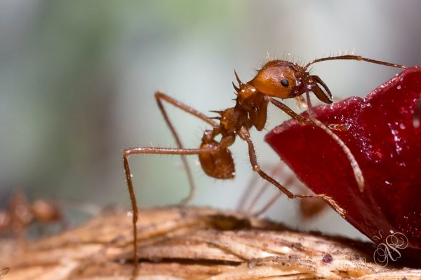 Leafcutter ants like these could hold the key to saving the world