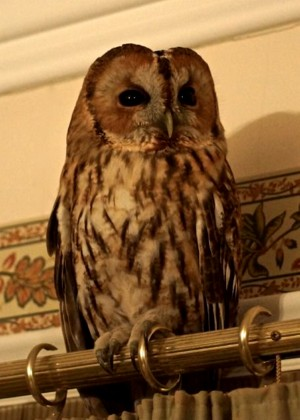 The owl that was perched inside the home of Graham Bickers after he fell asleep in front of the TV