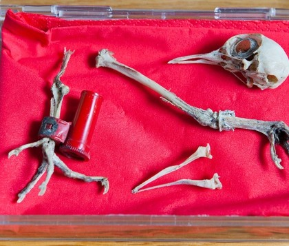The remains of the pigeon, and the red case still strapped to its ankle which experts will now study to crack the code