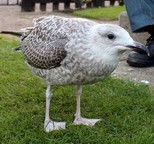 Ron Ifield with his adopted baby Herring Gull