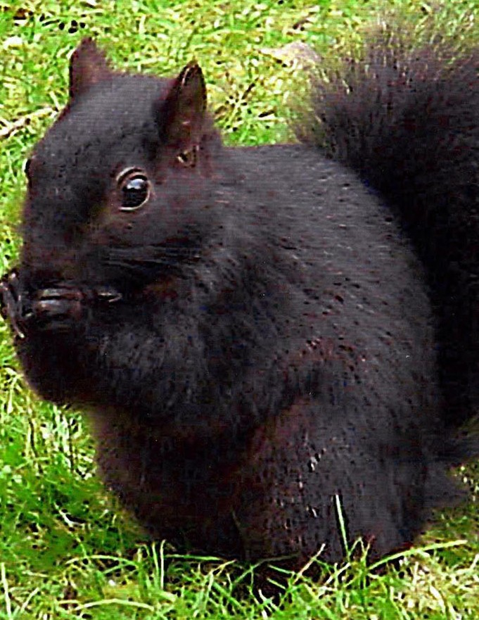 This image shows the four known types of squirrel in the UK. From top left clockwise they are red, grey, white and black, but now brunettes have been found