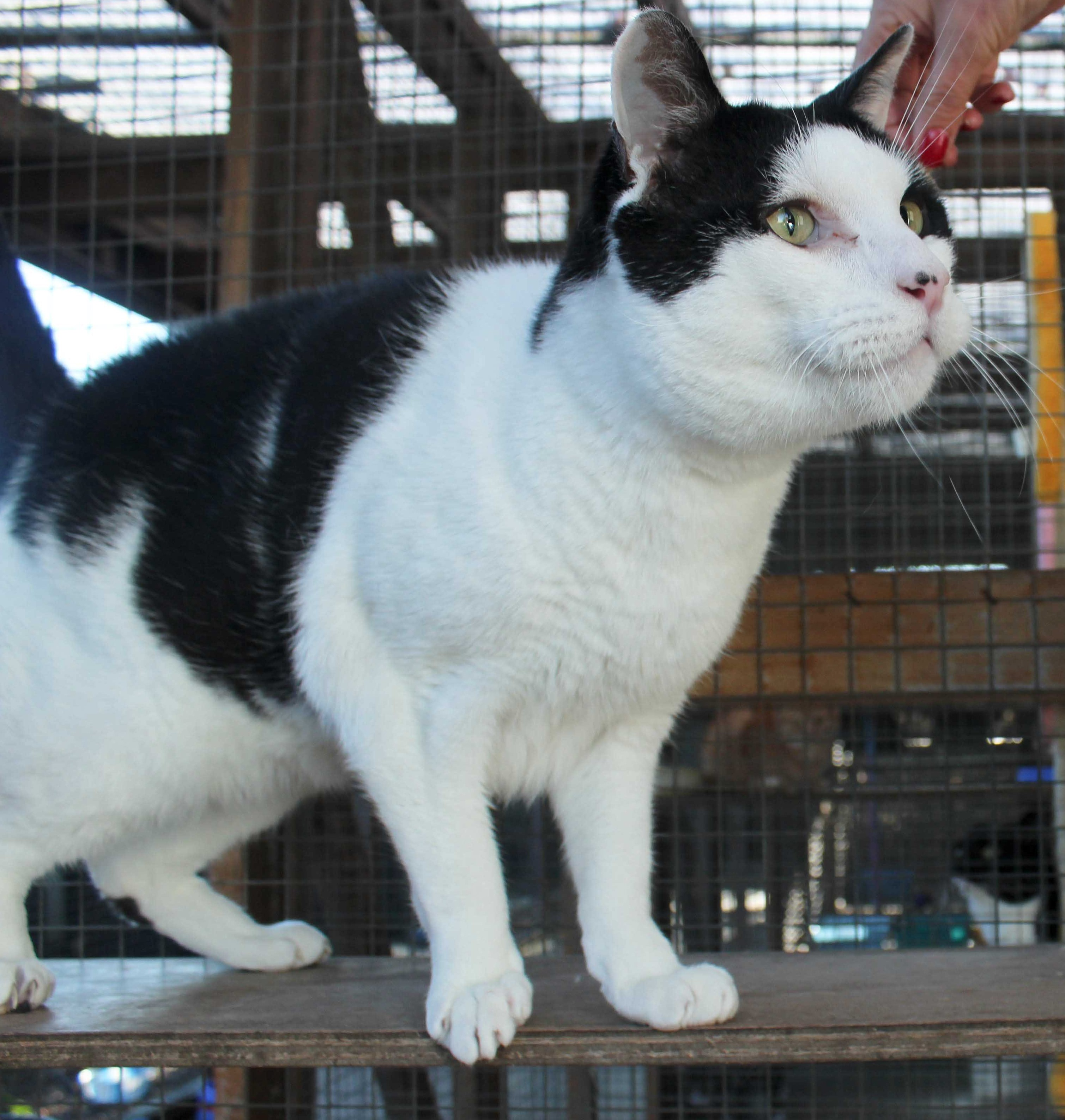Britain's tallest cat Judas looks down on a fellow moggy at the rescue centre where he is staying