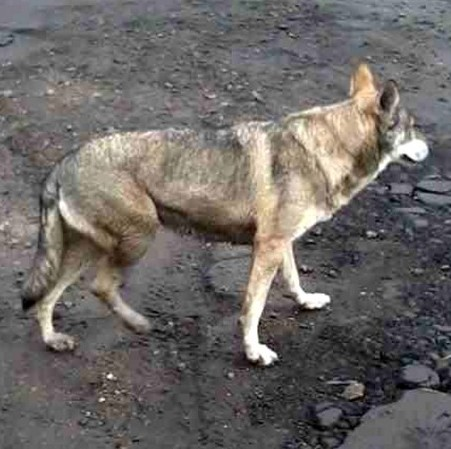 This large '€˜wolf like'€™ dog is on the loose in Cmabirdgeshire