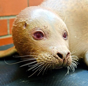 Junior the Albino Seal, which is the new star attraction at the Mablethorpe Seal Sanctuary in Lincolnshire