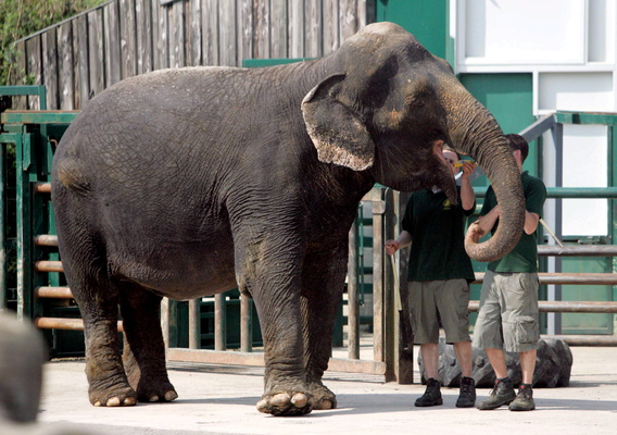 Anne the elephant in her new enclosure at Longleat, Wiltshire