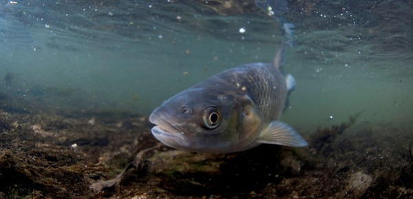 A chub peers at the camera in the brook in Silverdale, Nottingham