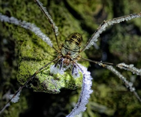 This Harvester spider with frosted legs as severe wintery conditions hit Britiain (Credit: Mark Johnson / Newsteam).