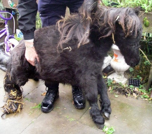 A shocking picture of a starving pony which was SCARED to death after its cruel owner tied it to a post near a fireworks display