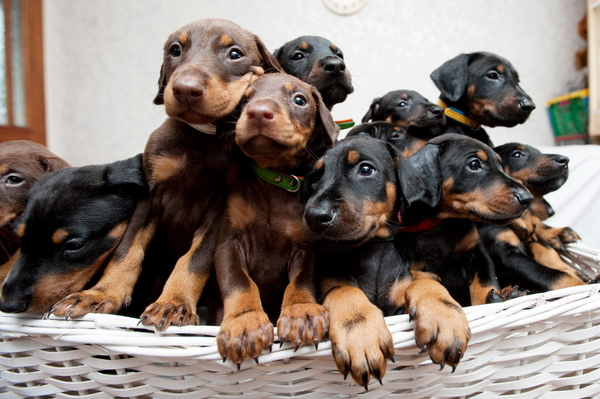 The record litter of 14 Doberman puppies