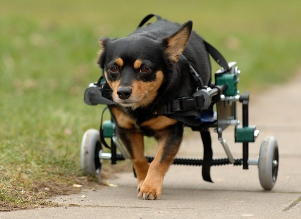 Mojo the dog who is paralysed and makes use of a specialised set of wheels to get around on