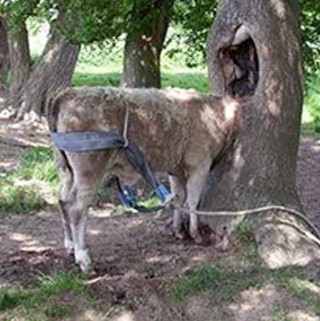 The confused cow gets its head trapped inside a tree