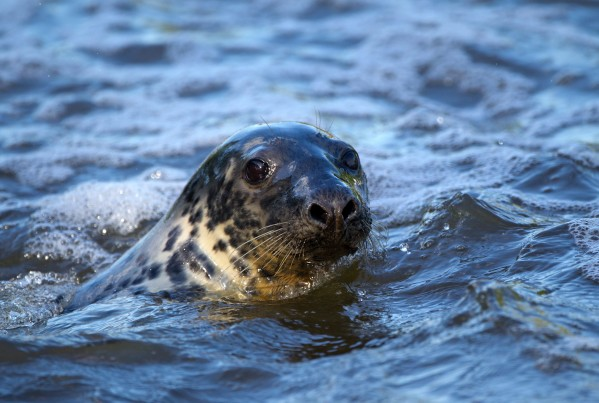 Keith the seal pictured in the last year enjoying life of the river Severn