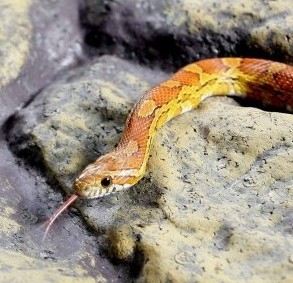 Liam Andrews' pet corn snake. He has 300 exotic animals in his bedroom