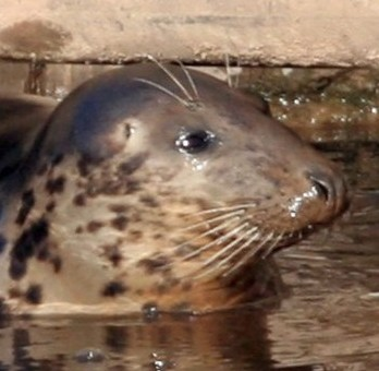 Keith the seal in the River Sever, where he is feared to have perished in the freezing water