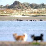 Dogs look on today as seals bask on the banks of the expanse of water