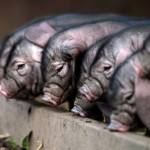 The litter of piglets get their first smell of clean air