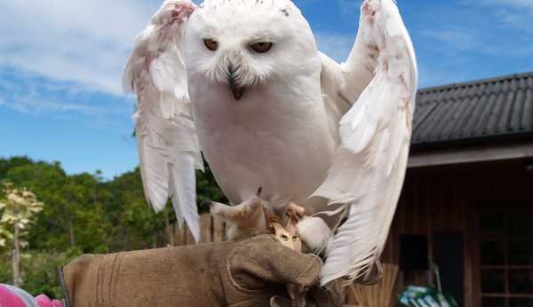 Two-year-old snowy owl Merlin stretches his wings after recovering from abuse and neglect