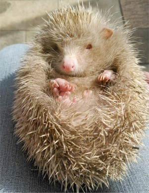 The albino hedgehog rescued from a storm drain which has been nicknamed Tughall
