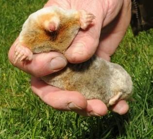 The rare albino mole which Dave Archer caught