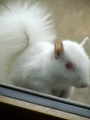 The albino squirrel that Lady Sarah Gough, 75, mistook for a ghost