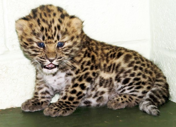 This adorable Amur leopard cub born just four weeks ago has delighted zoo keepers – as its one of the world's most critically endangered species of big cat