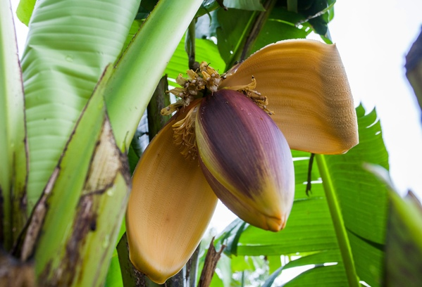 The bananas which have bloomed into life thanks to Britain's balmy temperatures