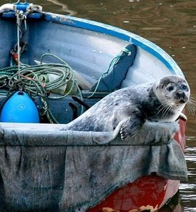 The cheeky seal looks out from his new home inside a rowing boat