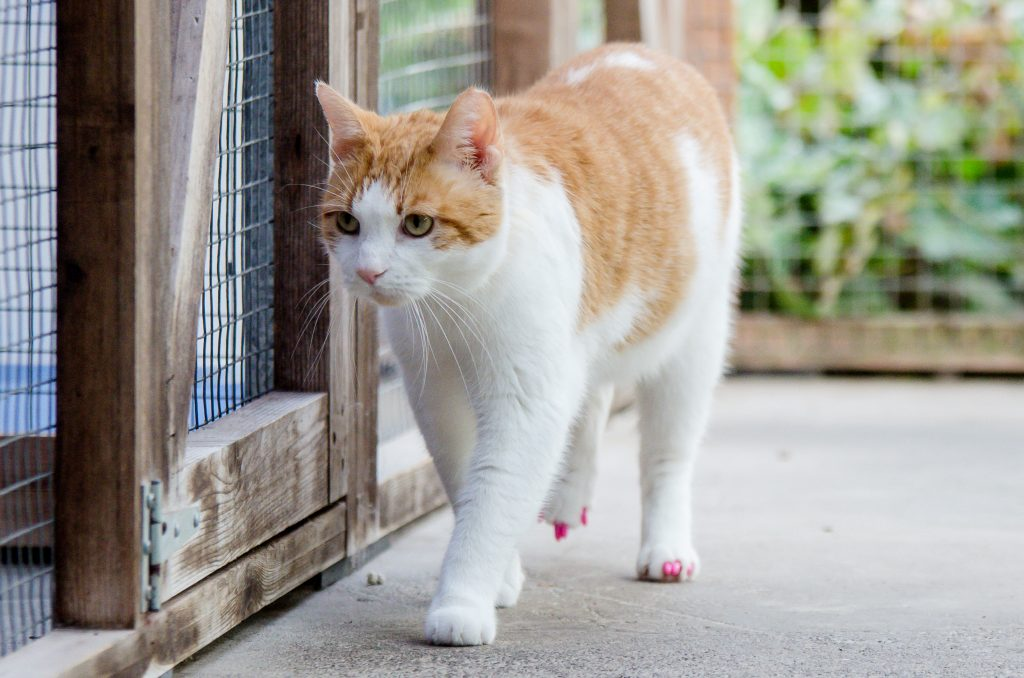 Archie the cat who has to wear bright pink false nails  to prevent him from scratching a wound on his neck, Rose Cottage Cat Rescue, Craven Arms, Shropshire.