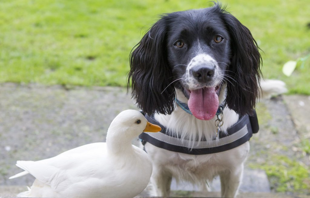 Paul Wilkie from Perthshire with his dog Irma and duck North.
