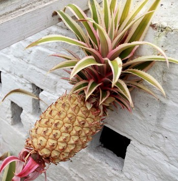 The pineapple is now ready for harvest after being nurtured over two years using traditional Victorian gardening techniques