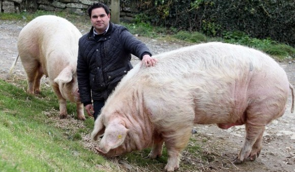 Farmer Paul Parfitt with his pigs Boris (right) and Marjory at the Chyvarloe Farm in Helston, Cornwall