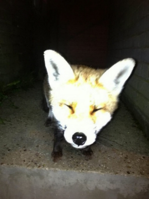The fox smiles for a picture