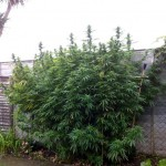 The cannabis plant which alerted cops after it grew above the owner's garden fence