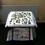 A table inside the house in Weston Super Mare, which has cannabis from the plant laid out on it ready to be used