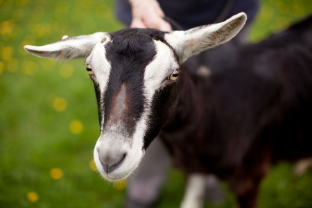 A goat similar to the one that Robert Newman had sex with