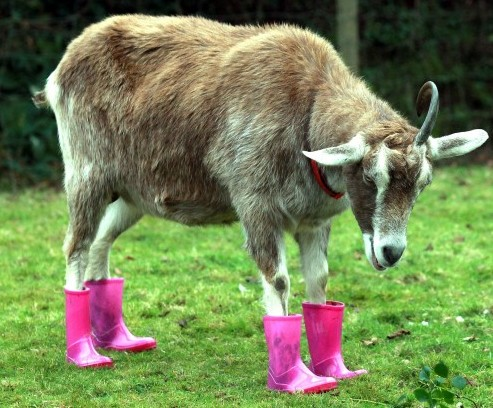 Maisie the Goat at Maria's Animal Shelter in Probus, Cornwall, with her pink wellies