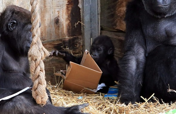 Kukena the one year old Western Lowland Gorilla plays with wrapping paper as he celebrates his first birthday