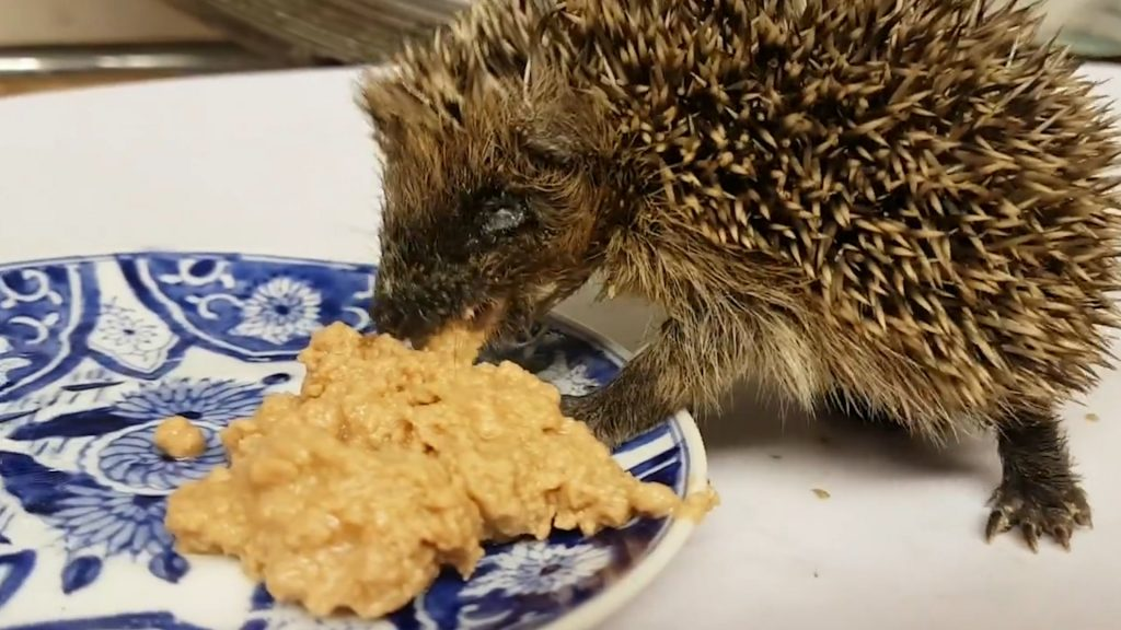 This poor hedgehog is now recovering after being left fighting for his life after his head became wedged inside a conker