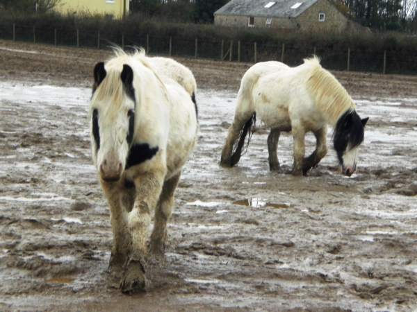 Neglected horses that were found by recuers