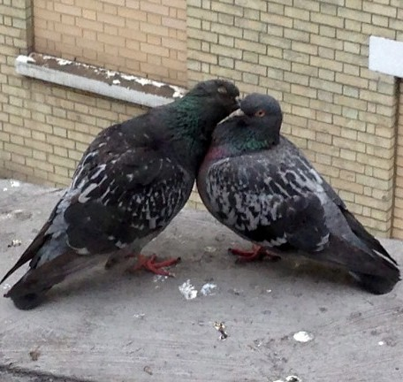 The male pigeon gives the female a peck on the cheek