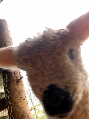 This lamb took its own selfie using his owners phone