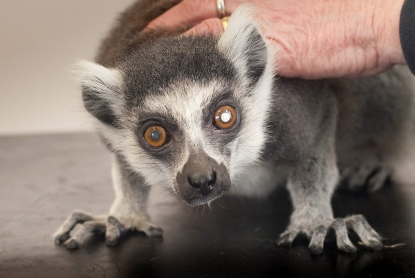 Stumpy the Lemur from Porfell Wildlife Park, Cornwall, at Abbotskerswell Veterinary Practice, can see again after his cataracts operation